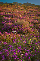 Sand Verbena (Abronia villosa) and White Dune Evening Primrose (Oenothera deltoides) bloom along the Truckhaven Hills trail during an especially moist springtime in warm morning light in the  Anza-Borrego Desert State Park, California
