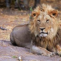 Africa, Botswana, Savute. Male lion of Savute in Chobe National Park.