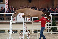 019, Prosecco van den Bosdam<br /> Hengstenkeuring BWP - Lier 2018<br /> © Hippo Foto - Dirk Caremans<br /> 19/01/2018