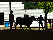 26 JUNE 2019 - CENTRAL CITY, IOWA: A 4H member practices with her beef cattle in the show ring at the Linn County Fair. Summer is county fair season in Iowa. Most of Iowa's 99 counties host their county fairs before the Iowa State Fair, August 8-18 this year. The Linn County Fair runs June 26 - 30. The first county fair in Linn County was in 1855. The fair provides opportunities for 4-H members, FFA members and the youth of Linn County to showcase their accomplishments and talents and provide activities, entertainment and learning opportunities to the diverse citizens of Linn County and guests.      <br /> PHOTO BY JACK KURTZ