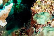 Saddled Blenny, Malacoctenus triangulatus, Springer, 1959, Grand Cayman