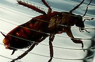 Deu, Deutschland: Amerikanischen Schabe (Periplaneta americana) frisst sucht in einem Trinkglas nach Flüssigkeit | Deu, Germany: American cockroach (Periplaneta americana) in a drinking glass searching for liquid |