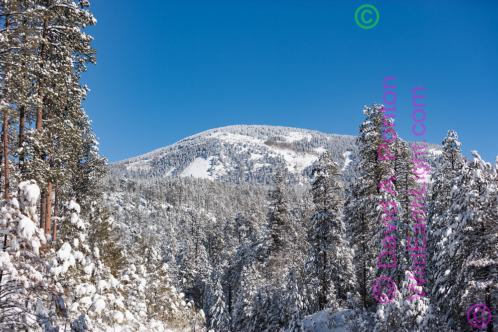 Fresh snow on Redondo Peak and foreground ponderosa pines, view from south-southwest, Feb. 2005 prior to the 2013 Thompson Ridge fire that burned the forest in the upper left and top of the mountain,  © 2005 David A. Ponton