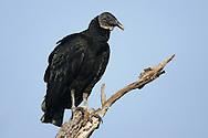 Black Vulture - Coragyps atratus - Adult