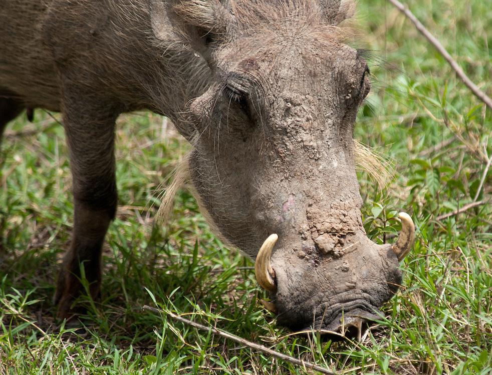 The Warthog closeup - Ngiri (Pumba)