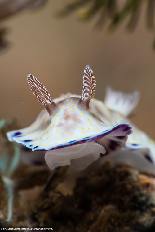 """A Goniobranchus aureopurpurea nudibranch lifts its """"skirts"""" or mantle as it moves across the bottom. The animal's rhinophores are able to sense chemicals and currents within the water around it."""