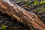 Thick, new growth from an overgrown elm tree wraps around a fork of its trunk in Snohomish County, Washington.