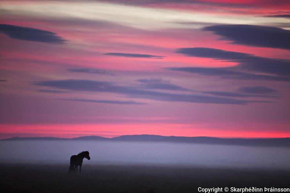 An Icelandic horse in colorfull summernight in Iceland