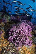 Anemones and Corals