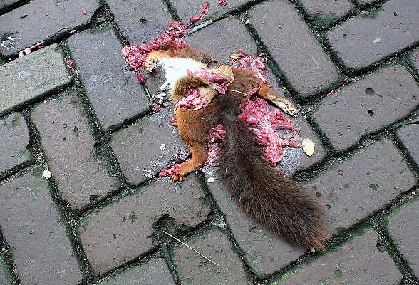 Nederland, Ubbergen, 7-8-2014 Een eekhoorn is op straat door een auto overreden. Het aantal eekhoorns daalt, de eekhoornstand neemt af. Het verkeer heeft daar ook een aandeel in.Foto: Flip Franssen/Hollandse Hoogte