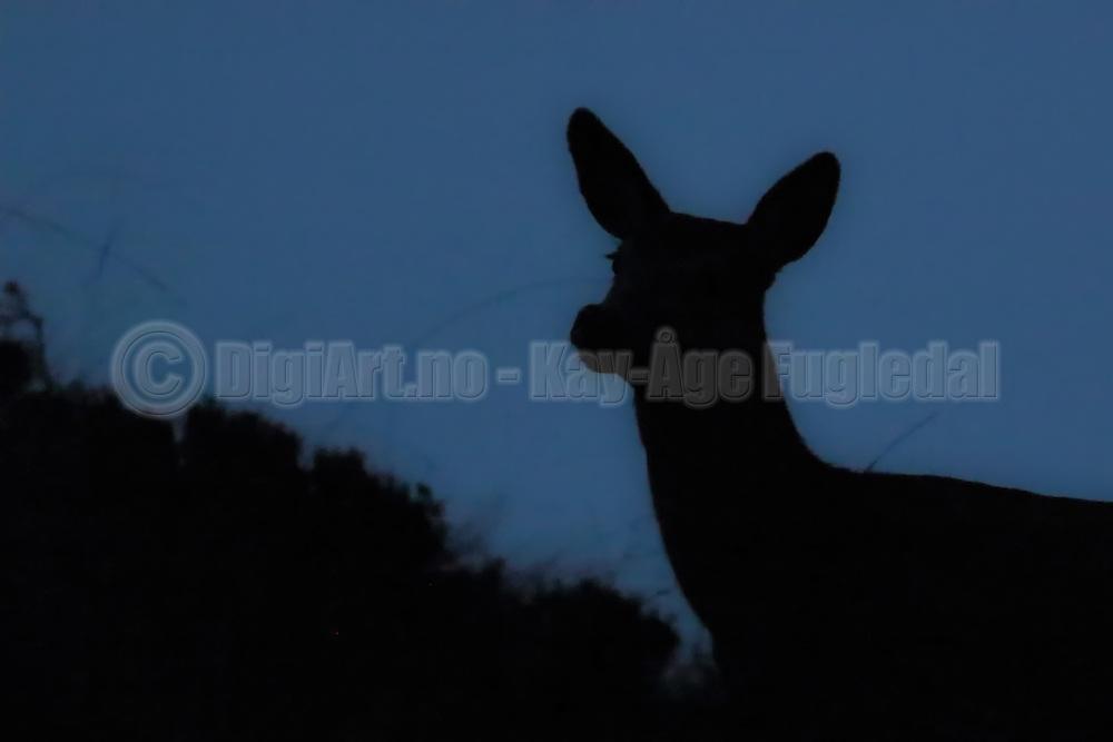 Deer captured late at night. Black silhouette on blue sky | Hjort fotografert sent om kvelden. Sort silhuett mot blå himmel.