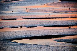 Birds feeding at low tide, Burnham Overy Staithe, North Norfolk Coast, England, UK.