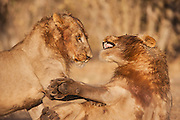 A pair of adolescent male African lions (Leo Panthera) play-fighting together in the warmth of the sun on a cool winter morning, Chobe National Park, Botswana, Africa