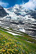 Alpine wildflowers, the Eiger Glacier, Eigergletscher, and Monch mountain in the Swiss Alps, Switzerland