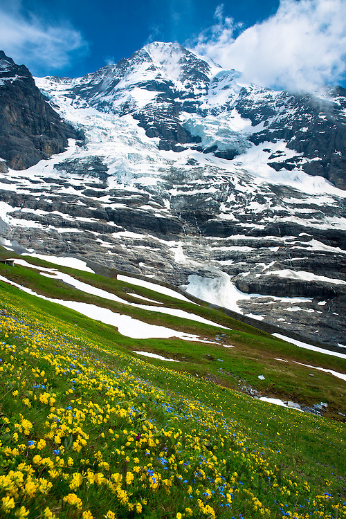 Alpine wildflowers, the Eiger Glacier, Eigergletscher, and Monch mountain in the Swiss Alps, Switzerland