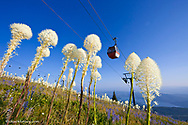Beargrass and lupine on the slopes below Chairlift at Whitefish Mountain Resort in Whitefish, Montana