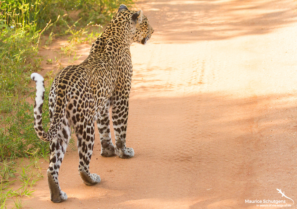 A leopard in search of prey in Tsavo West National Park, Kenya.