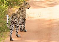 A leopard in search of prey in Tsavo West National Park, Kenya.