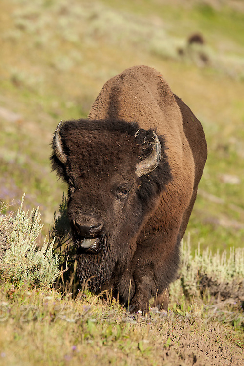 Bull bison during the rut in Wyoming