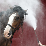 The Royal Highland Show, Scotland's annual farming and countryside showcase, organised by the Royal Highland and Agricultural Society of Scotland. Michael Mayberry washes 'Poacher', a Clydesdale from Campbeltown.<br /> <br /> Wednesday, June 21, 2017