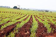 Pirajuba_MG, Brasil...Plantacao de cana-de-acucar em Pirajuba, Minas Gerais...The sugar cane agriculture in Pirajuba, Minas Gerais...Foto: LEO DRUMOND / NITRO