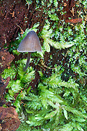 A mushroom (Mycena sp.) in Campbell Valley Park, Langley, British Columbia, Canada.