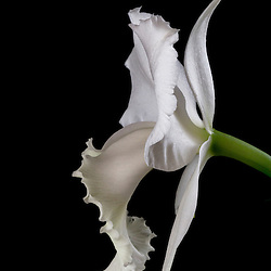 ORCHIDS - White Cattleya