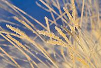 Hoar frost in the setting sunlight