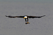A bald eagle (Haliaeetus leucocephalus) flies with a fish it caught in Hood Canal near Big Beef Creek, Seabeck, Washington. Fish make up a majority of a bald eagle's diet.