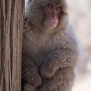 Snow Monkey, sitting in a tree surveying the the activity in the hot pool in Jigokudani Monkey Park, Japan