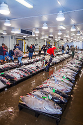 ahi or yellowfin tunas, Thunnus albacares, and other locally caught fresh fish on pallets on the auction floor, Honolulu Fish Auction by United Fishing Agency, the only fresh tuna auction in the US, up to 160,000 pounds of fish can be auctioned in a day, Pier 38, Commercial Fishing Village, Honolulu, Oahu, Hawaii, USA