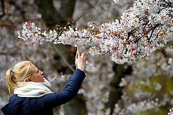 © Licensed to London News Pictures. 05/04/2016. London, UK. People taking pictures of cherry blossoms whilst enjoying sunshine and warm weather in St James's Park, London on Tuesday, 5 April 2016. Photo credit: Tolga Akmen/LNP
