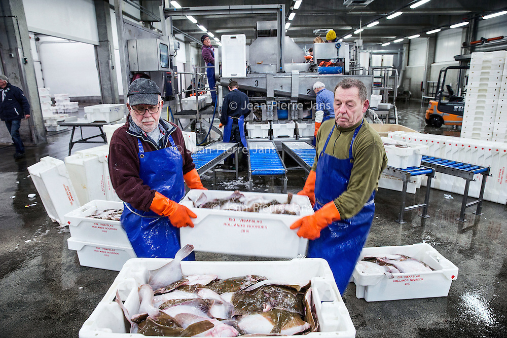 Nederland, Den Helder, 18 maart 2016.<br /> Visafslag bij Den Helder.<br /> De verse vis wordt geselecteerd en schoongemaakt voordat het verhandeld wordt.<br /> <br /> The Netherlands, Den Helder, 18 march 2016<br /> Fish processing for auction in Den Helder.The fresh fish is selected and cleaned before it is marketed.<br /> <br /> <br /> Foto: Jean-Pierre Jans