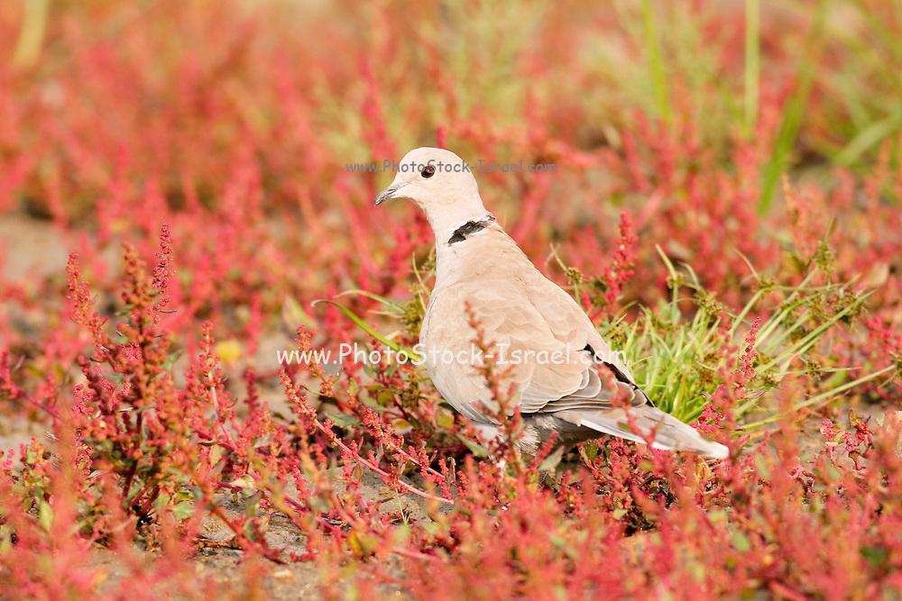 Eurasian Collared Dove, Streptopelia decaocto Israel, September 2008