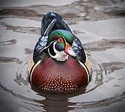 Wood Duck, NYC, Central Park