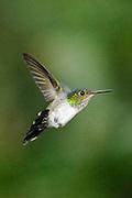 Colibrí Ventrivioleta (hembra) / colibríes de Panamá.<br /> <br /> Violet-bellied Hummingbird (female) / hummingbirds of Panama.<br /> <br /> Damophila julie.<br /> <br /> Edición de 25 | Víctor Santamaría.