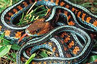 California red-sided garter snake, Thamnophis sirtalis infernalis.  Point Reyes National Seashore, California