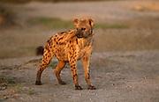 A hyena at dawn in the Serengeti National Park, Tanzania