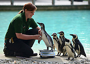 © Licensed to London News Pictures. 22/08/2012. London, UK . Penguins are  weighed by keeper Vicky Fyson. ZSL London Zoo conducts its annual weigh-in. Each of the 16,000 animals are measured and weighed. The information recorded is sent to zoos around the world. Photo credit : Stephen Simpson/LNP