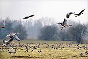 Nederland, Ubbergen, 28-2-2013Wilde grauwe ganzen in de Ooijpolder. Elk jaar overwinteren tienduizenden ganzen in de Gelderse Poort en de uiterwaarden langs de rivier de Waal.Foto: Flip Franssen/Hollandse Hoogte