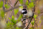 A black-capped chickadee (Poecile atricapillus) feeds on a seed while it is perched on a tree branch in early spring in Snohomish County, Washington. It is found across much of the northern United States and southern Canada. It is known for its ability to conserve energy by lowering its body temperature on cold winter nights and for its ability to remember where it stashed thousands of seeds.