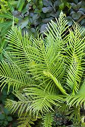 Blechnum gibbum, Hard Fern, Silver Lady Fern, Dwarf tree fern, growing in a container at Great Dixter