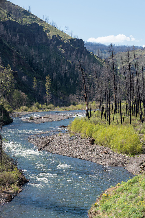 Trees burnt in the Grizzly Fire along the Wenaha River, Oregon.