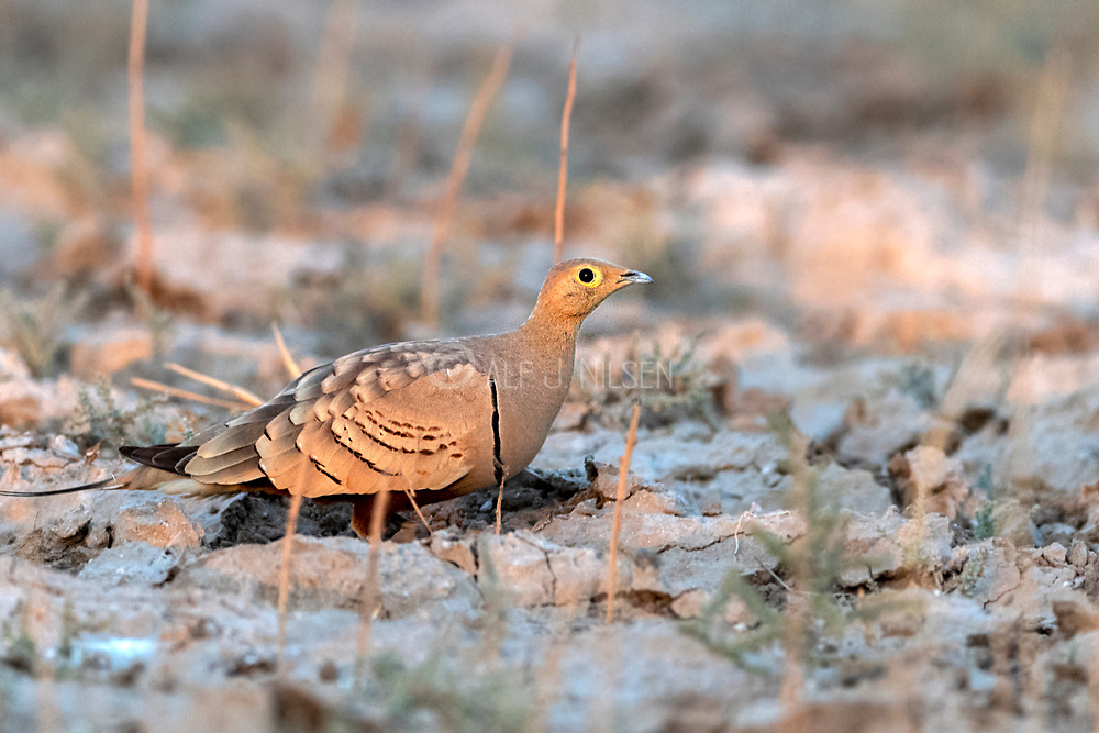 Male of chestnut-bellied sandgrouse (Pterocles exustus) from Jawai-area, Rajasthan, India.