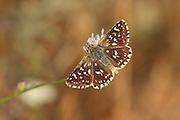 Mallow Skipper (Carcharodus alceae) Butterfly shot in Israel, Summer June