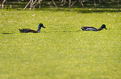 © Licensed to London News Pictures. 14/06/2021. London, UK. Ducks are surrounded by green algae in St James's Park Lake during a sunny warm morning in central London. Another day of high temperatures is expected in the UK. Photo credit: Peter Macdiarmid/LNP