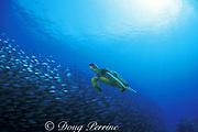 green sea turtle, Chelonia mydas, swims past school of akule ( bigeye scad ), Selar crumenophthalmus, <br /> Turtle Pinnacles, Kona, Hawaii, USA ( Central Pacific Ocean )