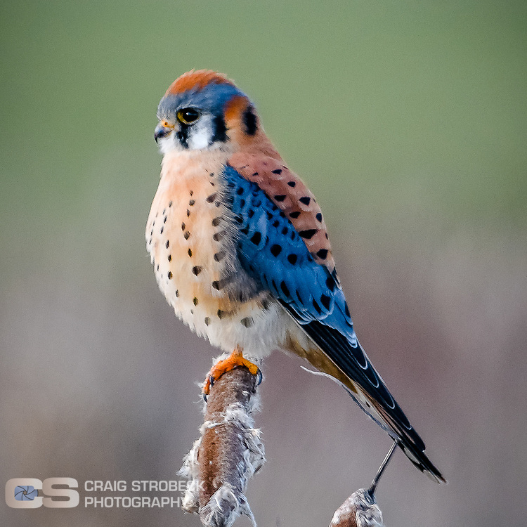 American Kestrel photographed at William L Finley NWR. Bruce Road marsh area.