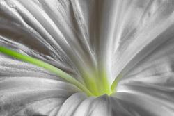 Hymenocallis-Beach Spider Lily#10