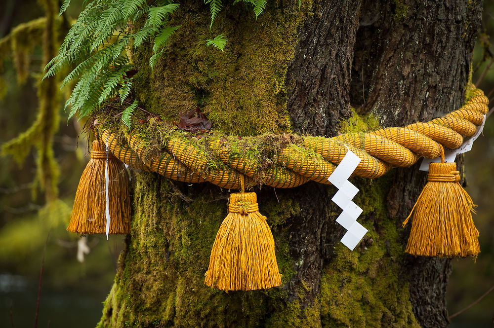2014 January 01 - Mossy tree with shimenawa with paper shide, Tsubaki Grand Shrine, Granite Falls, WA. New Years Hatsumode. By Richard Walker